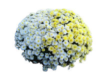 Isolerat blandat för krysantemum Royaltyfria Bilder