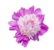 Isolerat blommahuvud Fotografering för Bildbyråer