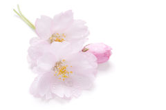 isolerat blomningCherry Arkivfoto