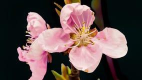 Isolerat blomstra för aprikosblomma arkivfilmer
