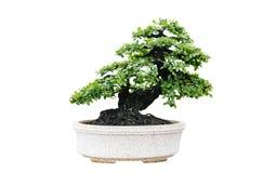 Isolerat bonsaiträd Royaltyfri Fotografi