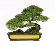 Isolerat bonsaiträd Arkivfoton