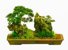 Isolerat bonsaiträd - Murraya paniculata Royaltyfria Bilder