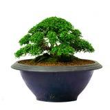 Isolerat bonsaiträd - Murraya paniculata Fotografering för Bildbyråer