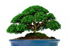 Isolerat bonsaiträd - Murraya paniculata Arkivfoton