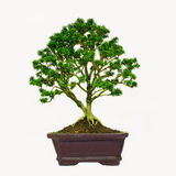 Isolerat bonsaiträd - Murraya paniculatadvärg  Royaltyfri Foto