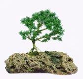 Isolerat bonsaiträd - Murraya paniculatadvärg Royaltyfria Bilder