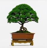 Isolerat bonsaiträd - Murraya paniculatadvärg Royaltyfri Fotografi