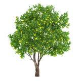 Isolerat citrusfruktträd. citron Arkivfoton