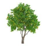 Isolerat citrusfruktträd. citron Arkivfoto