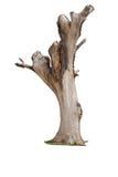 Isolerat dött träd Arkivbild