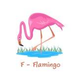 Isolerat djurt alfabet för ungarna, F för flamingo Arkivbild