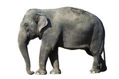 isolerat elefant royaltyfri fotografi