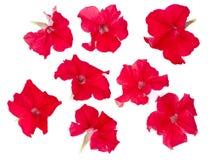 Isolerat fastställt av den röda petunian Arkivbilder