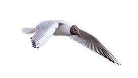 Isolerat flyga denhövdade lilla fiskmåsen arkivfoto