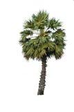 isolerat gömma i handflatan palmyraen Arkivfoton