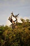 Isolerat gammalt träd i Horton Plains fotografering för bildbyråer