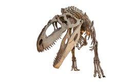 Isolerat Giganotosaurusskelett arkivfoton