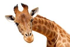 isolerat giraffhuvud Royaltyfri Fotografi