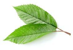 Isolerat grönt körsbärsrött blad royaltyfri fotografi