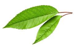 Isolerat grönt körsbärsrött blad arkivfoto