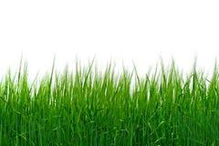 isolerat gräs Royaltyfri Foto
