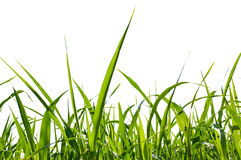 isolerat gräs Royaltyfri Bild