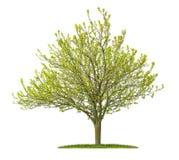 Isolerat guld- almträd fotografering för bildbyråer
