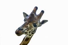 Isolerat huvud för giraff` s Arkivfoton