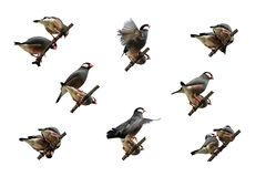 Isolerat Java Sparrow handlinggalleri Royaltyfri Bild