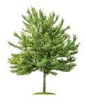 Isolerat körsbärsrött träd Arkivbild
