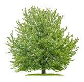 Isolerat körsbärsrött träd på en vit bakgrund arkivfoto