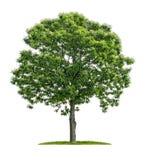 Isolerat kastanjebrunt träd på en vit bakgrund Arkivfoton
