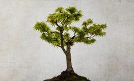 Isolerat lönnträd Arkivbild