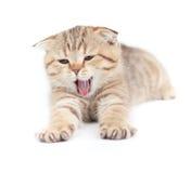 isolerat liggande skott görat randig gäspa för kattunge Fotografering för Bildbyråer