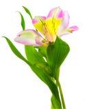 isolerat lilly Arkivfoton