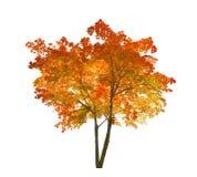 Isolerat ljust rött och gult höstlönnträd Arkivbild