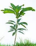 Isolerat mangoträd arkivbild