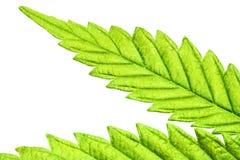 Isolerat marijuanablad 05 för fem spets Arkivbilder