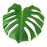 Isolerat Monstera stort blad Vit bakgrund för grön för djungelblad unik tropisk modell för design, med den snabba banan arkivfoto