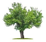 Isolerat mullbärsträdträd Fotografering för Bildbyråer