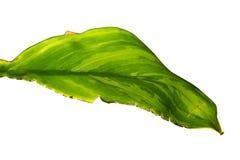 Isolerat ojämnt blekna grönt blad royaltyfria bilder