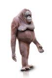 Isolerat orangutangUtan anseende Royaltyfri Foto