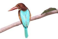 isolerat på den vita bakgrundskungsfiskarefågeln som placerar på träd Fotografering för Bildbyråer