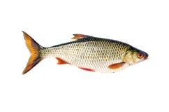 Isolerat på den vita nya fiskmörten Arkivfoto