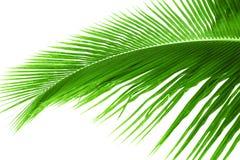 Isolerat palmträdblad Royaltyfri Bild