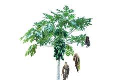 Isolerat Papayaträd Royaltyfria Bilder