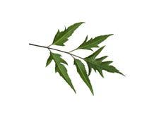 Isolerat Polyscias Fruticosa blad Royaltyfria Foton