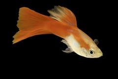 isolerat rött tropiskt för akvariefisk guppy royaltyfri bild