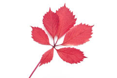 Isolerat rött vilt blad royaltyfria foton